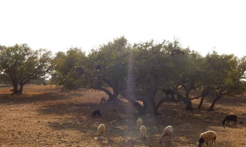 essaouira_goats_on_argantree